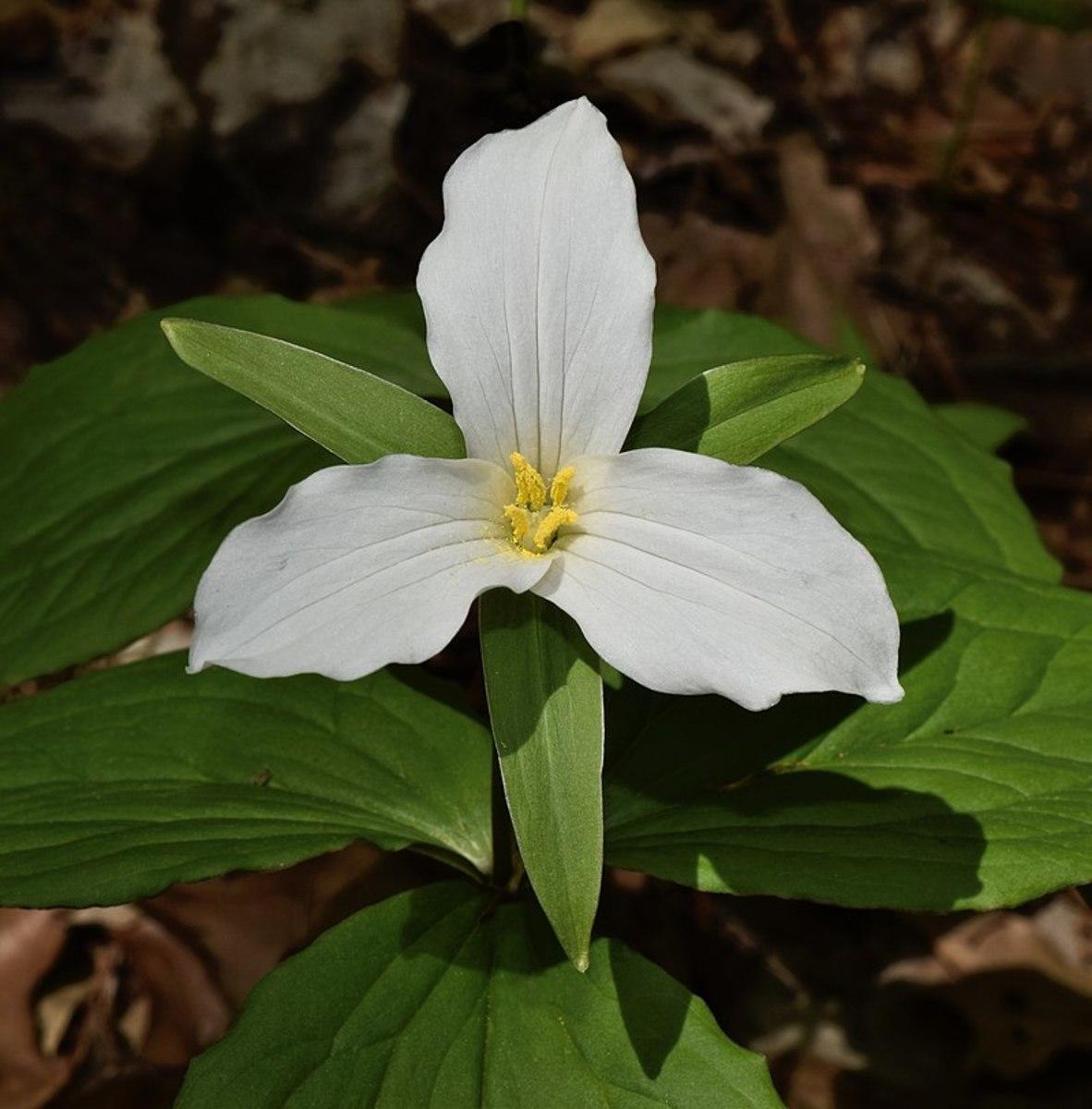 How to Grow Trillium, a Native Woodland Plant