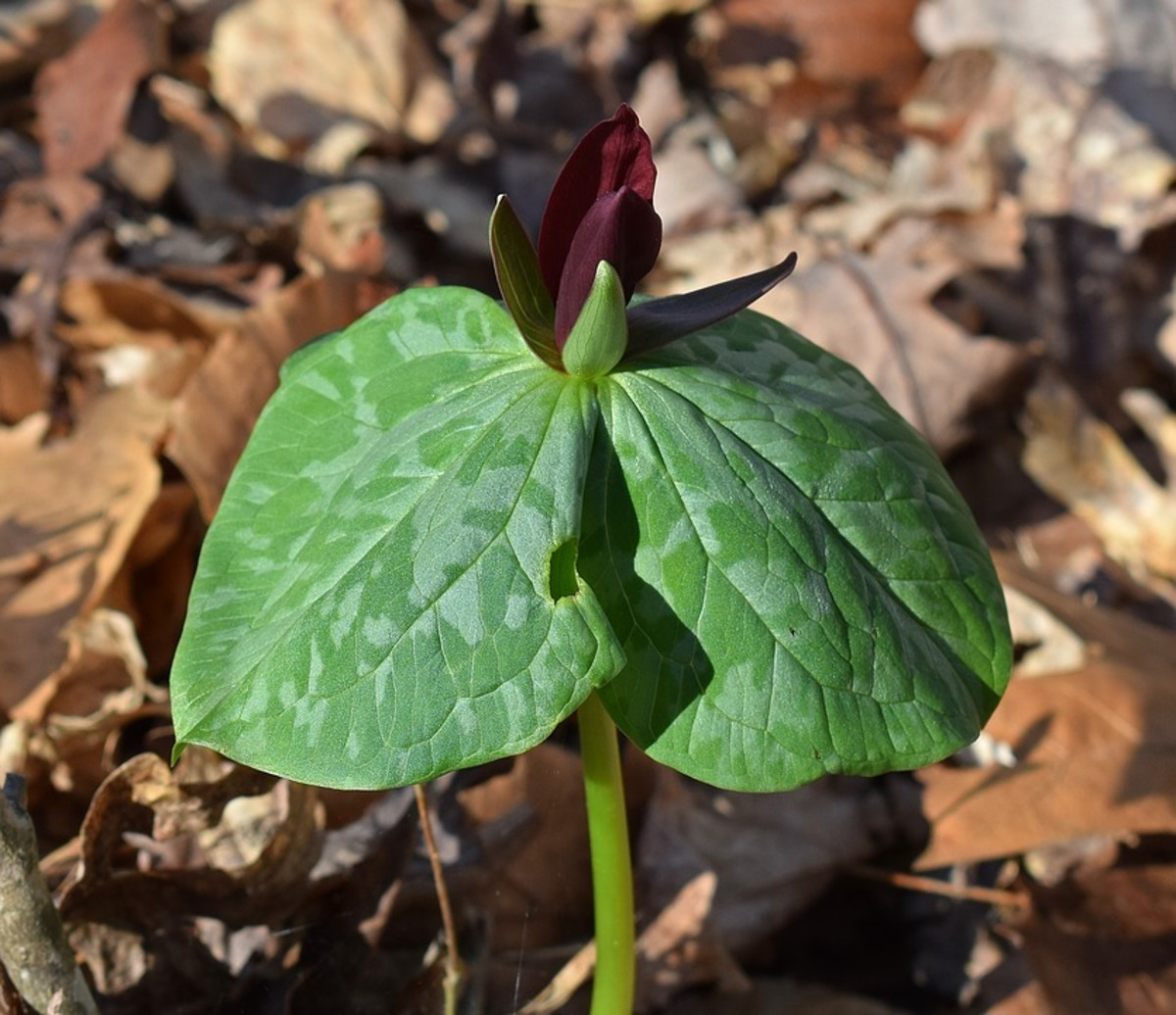 Trillium recurvatum, native to the Midwest.