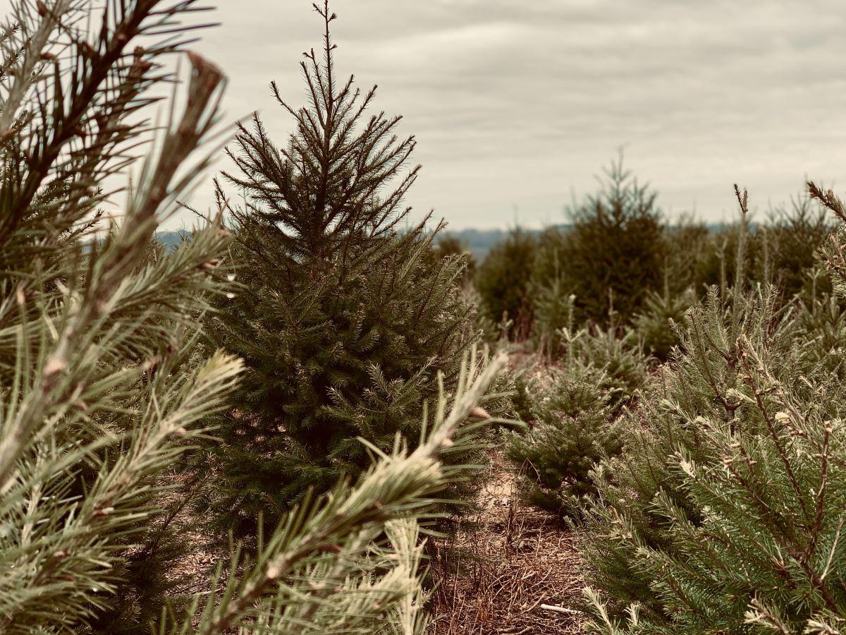 Pine tree garden.