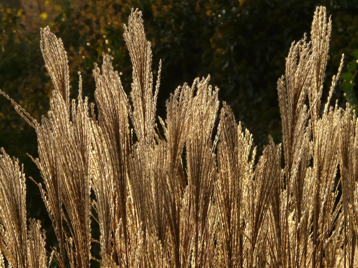 Golden heads of this Miscanthus add a soft glow to any border.