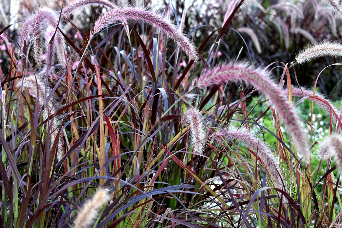 Colorful fountain grass