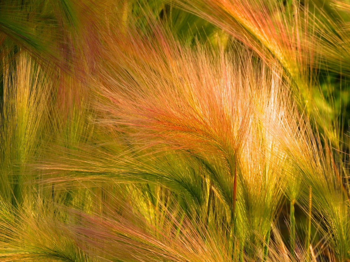 Ornamental Grasses: A Unique Landscaping Choice