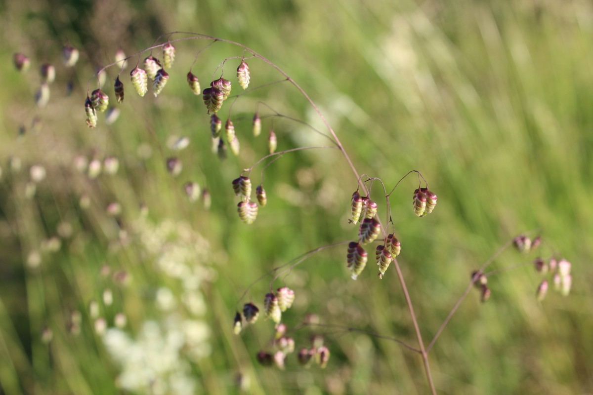 Quaking Grass is a cool weather grass.