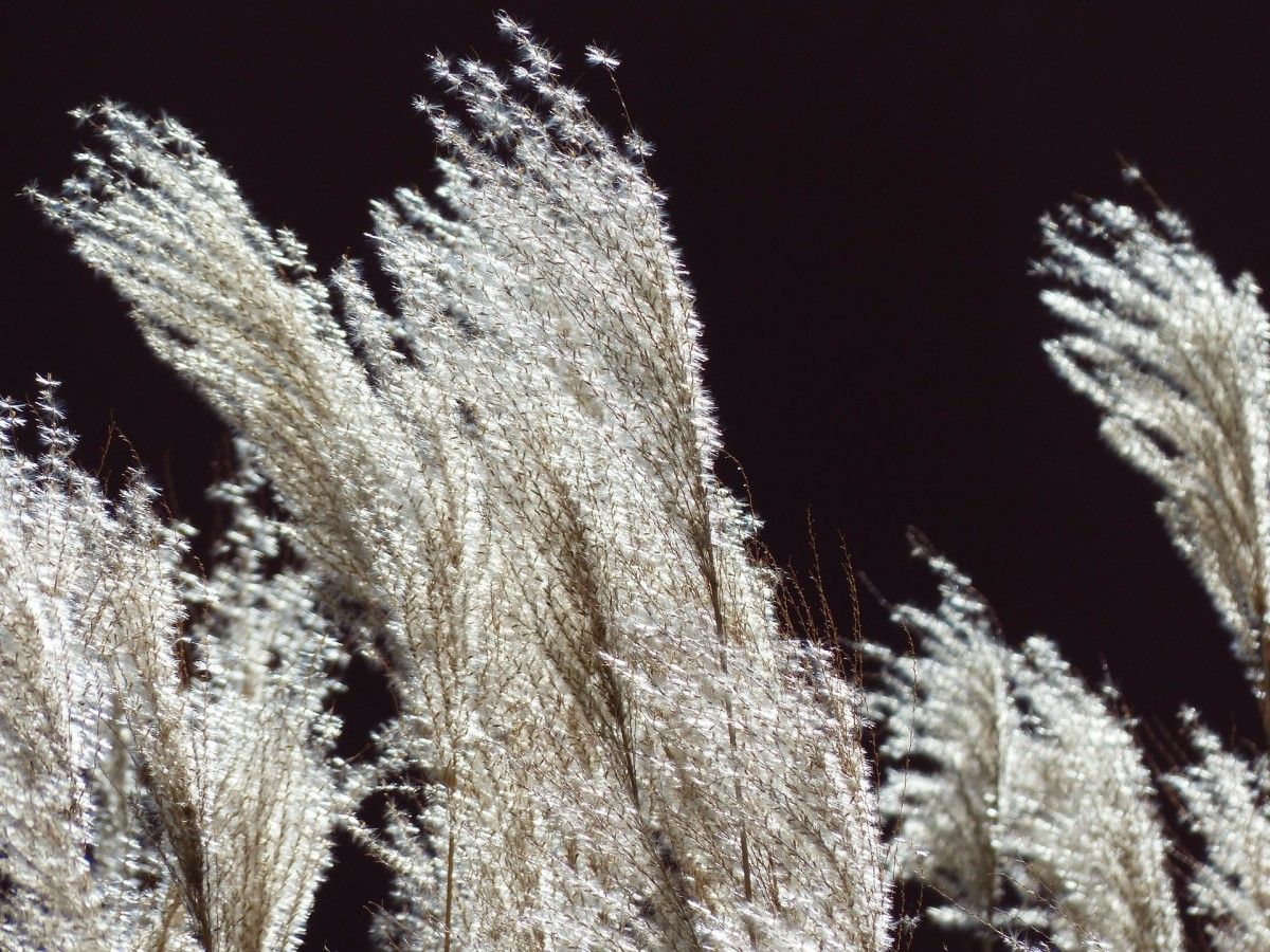 Backlit white Miscanthus sinensis plumes are elegant and outstanding.