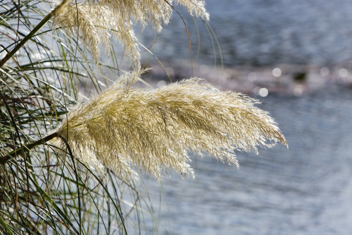 White plumes of pampas grass can stand over 8 feet tall.