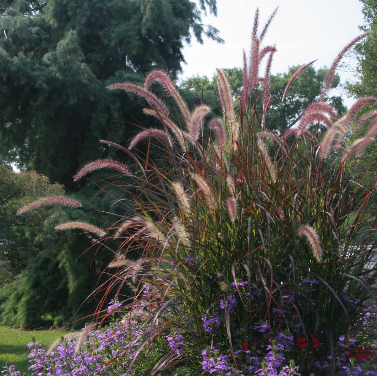 Colorful plumes of Pennisetum grass rise above an ornamental border.