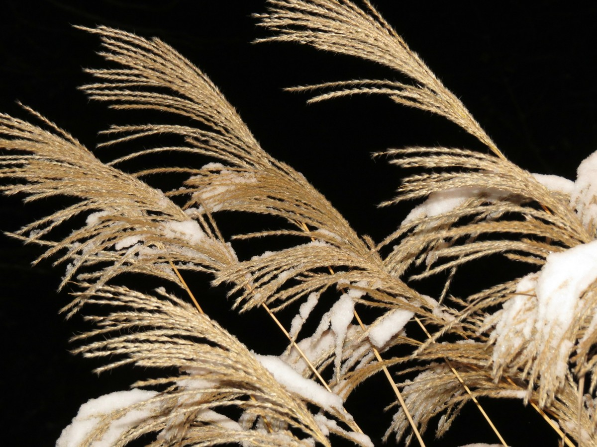 Feathery plumes of Miscanthus add interest to a winter garden.