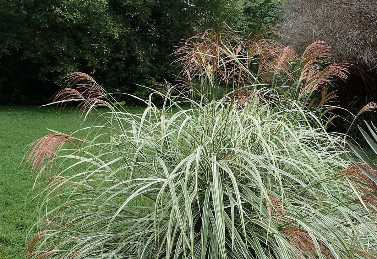 A variety of Miscanthus with leaves striped with white.