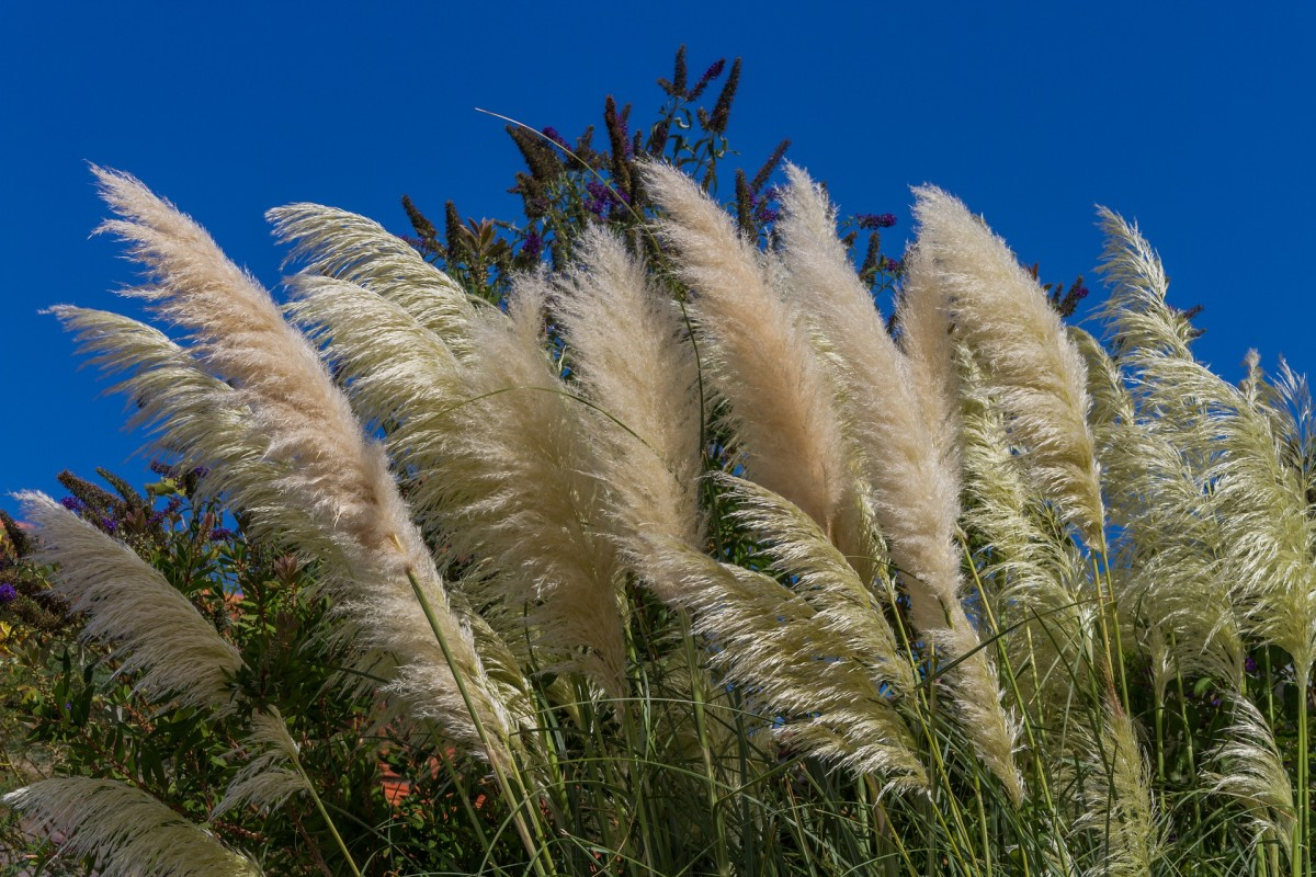 Elephant grass can grow up to 12 feet.