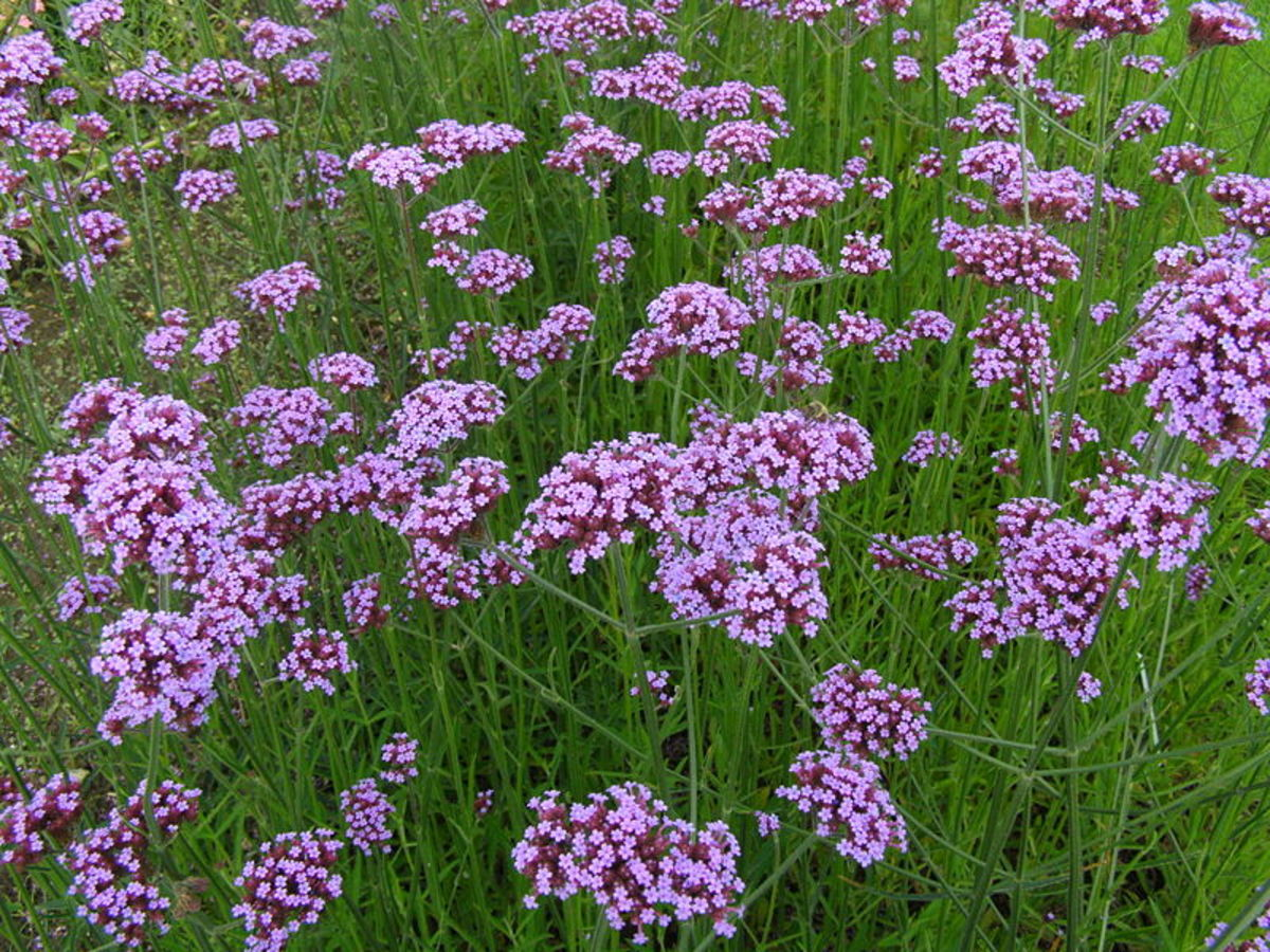 How to Grow Verbena Bonariensis, a Cottage Garden Favorite