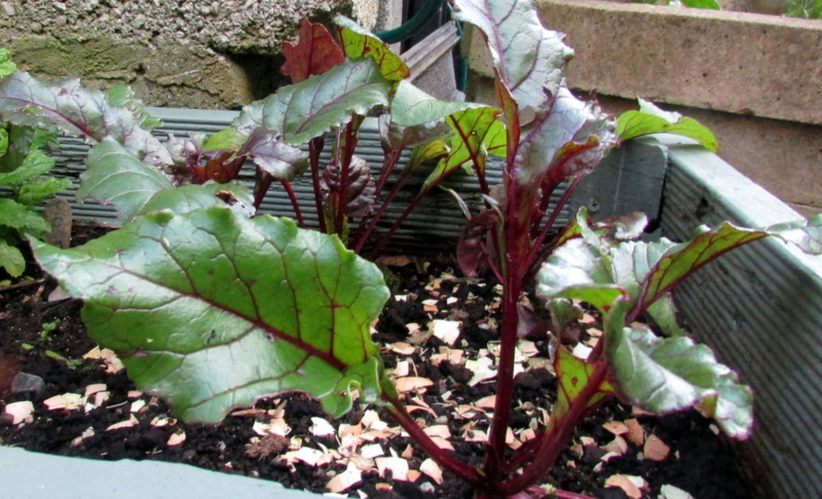 Beetroot leaves can be eaten too.