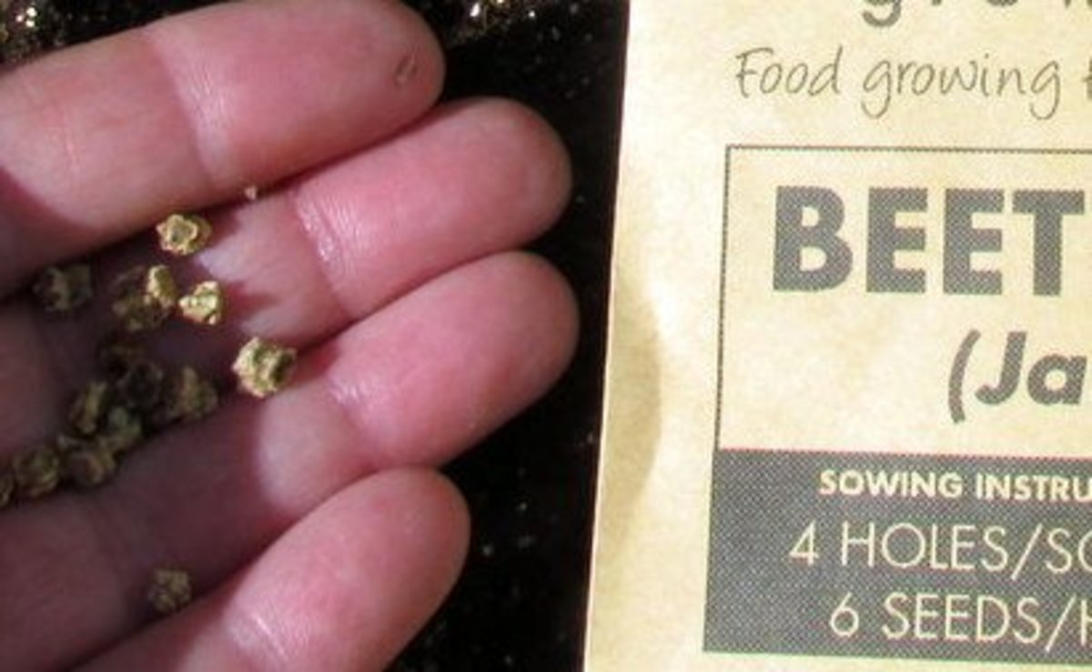 How to sow beet seeds