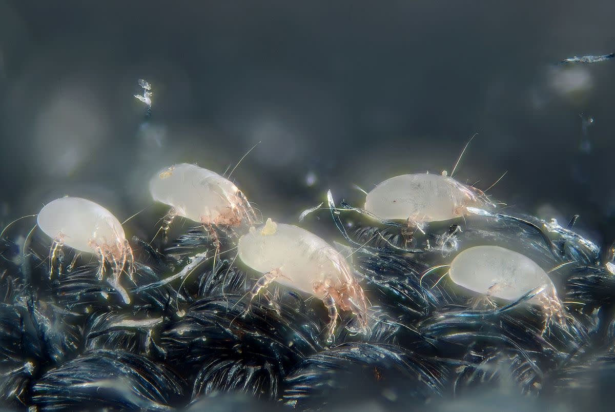 House dust mites (Dermatophagoides pteronyssinus) seen under a microscope.