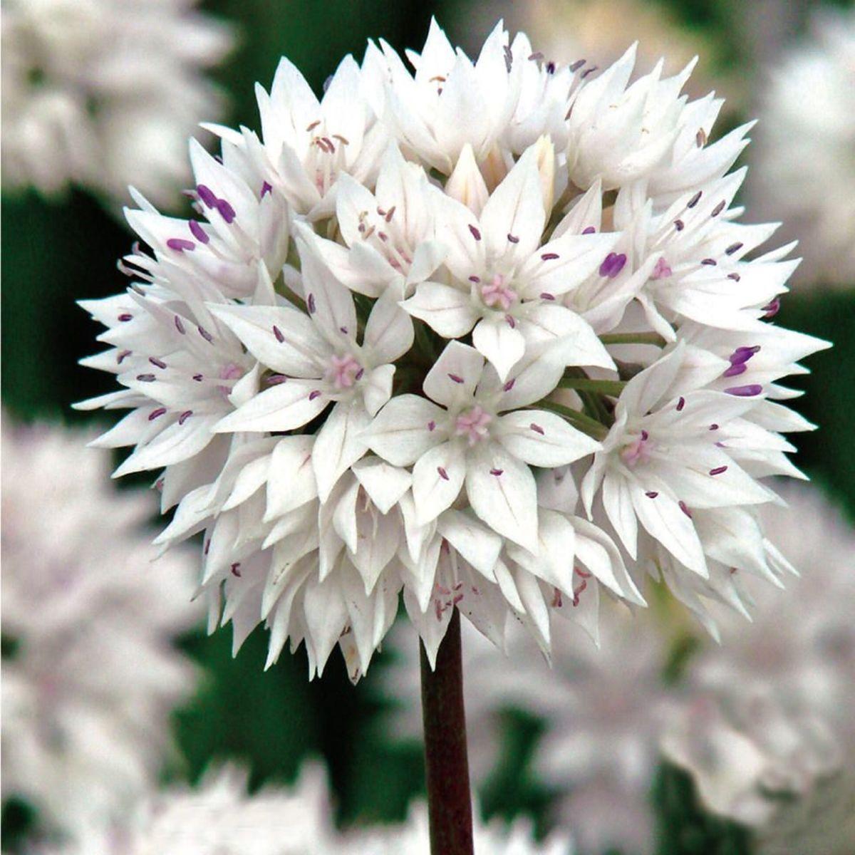 Graceful Beauty (Allium Amplectum)