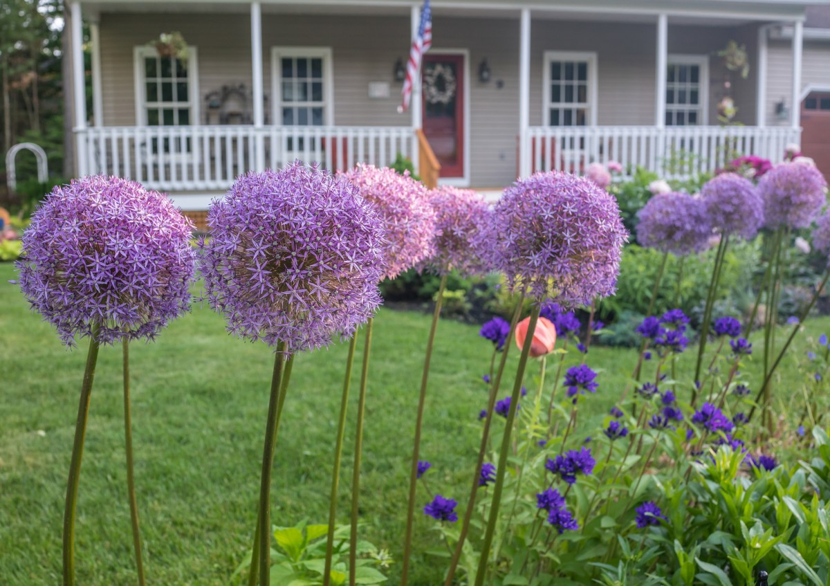 Ornamental Alliums Unique Flowers For The Perennial Border