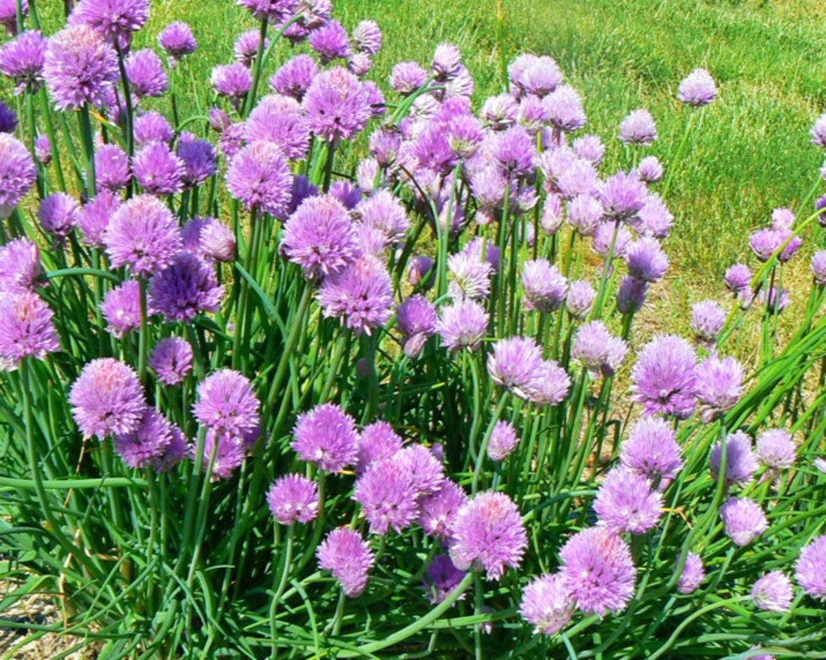 Chives don't have to just be herbs—they can be exquisitely beautiful too.