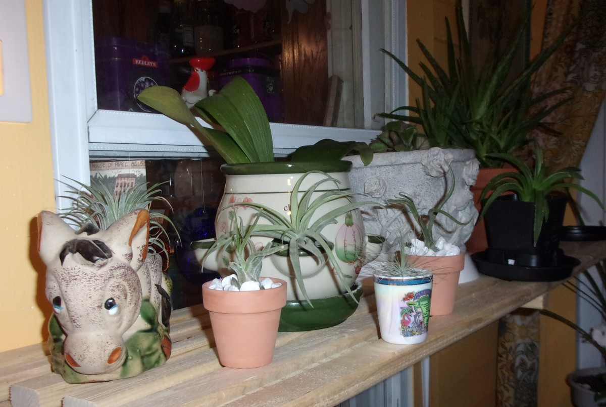 My air plant collection sits on a shelf on the back wall of my sun room.