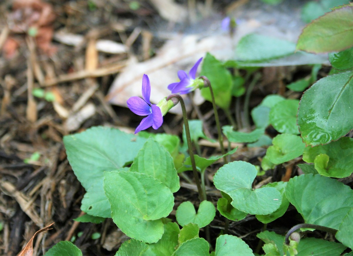 Common blue violets thrive in moist, loamy ground.