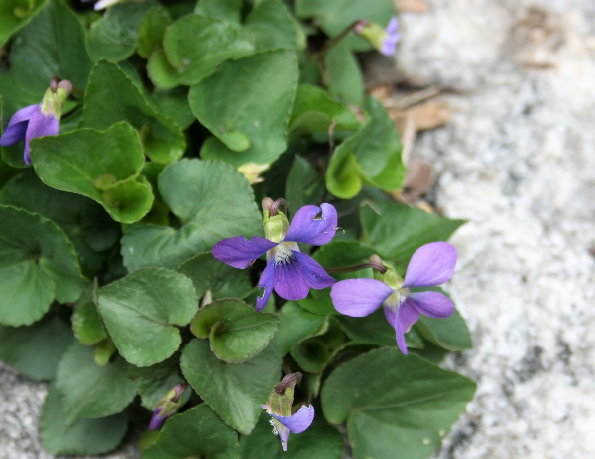 Viola sororia produces sweet-smelling, edible flowers that contain vitamins A and C.