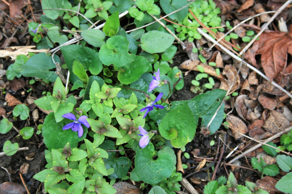 Common blue violets sprout amid a patch of bee balm. Like the common blue violet, bee balm is an herbaceous emergent.