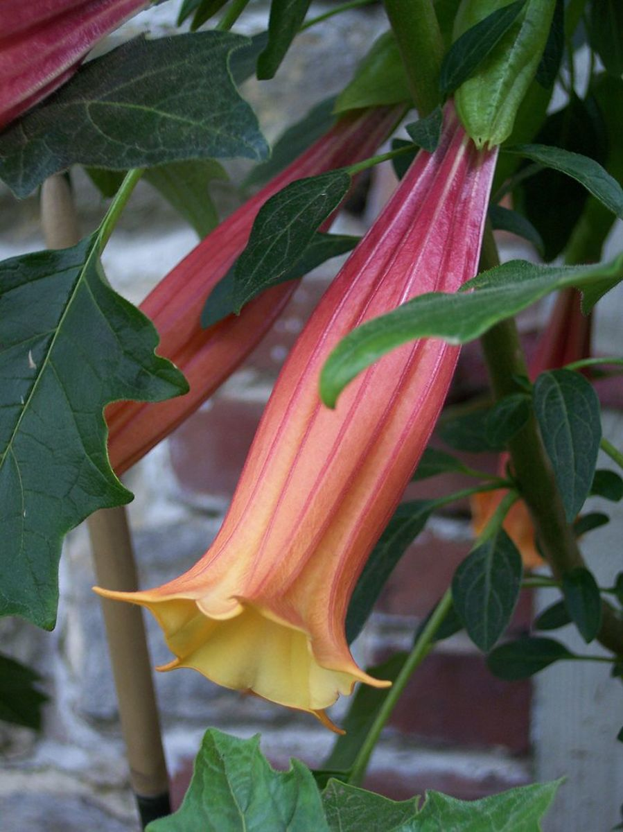 Brugmansia vulcanicola, a small species that grows only to 4 feet tall and whose flowers are more tubular than trumpet.