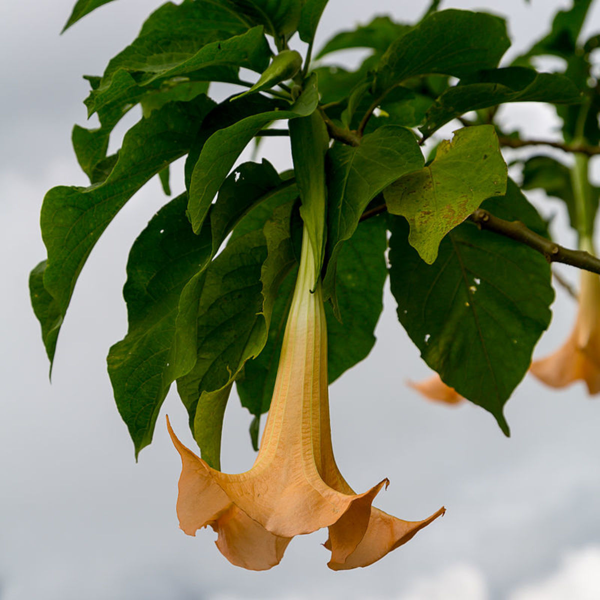 How to Grow Brugmansia (Angel's Trumpet) Indoors or Outdoors