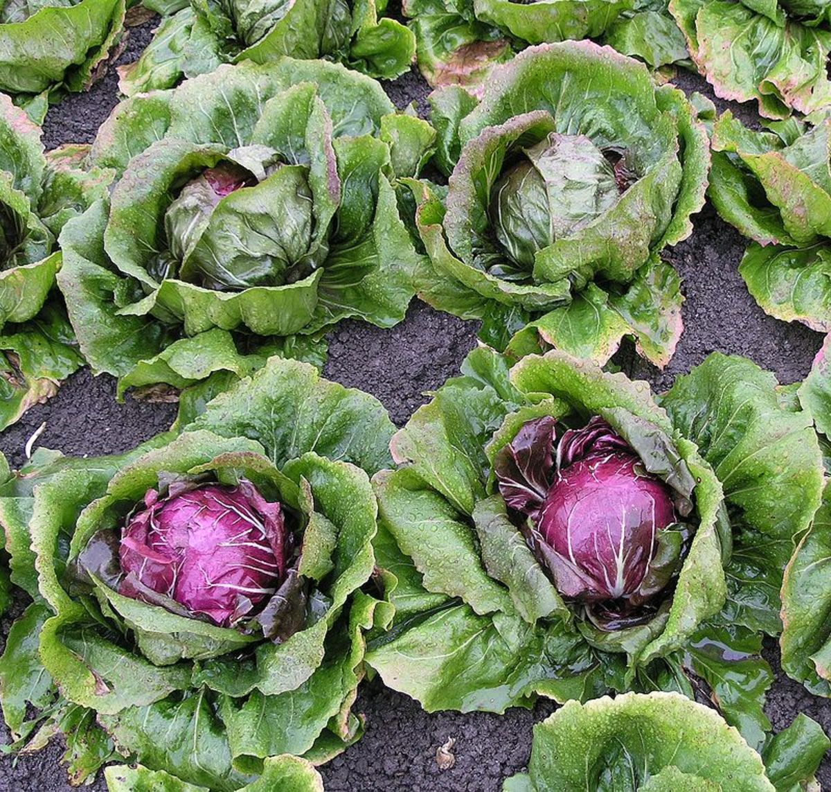 The most popular radicchio grown in the US is Chioggia which has a round head.