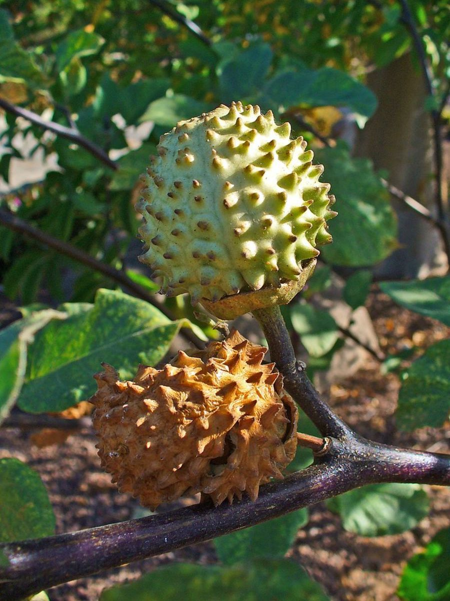 Datura seedpods are thorny.  They are about the size of a walnut.