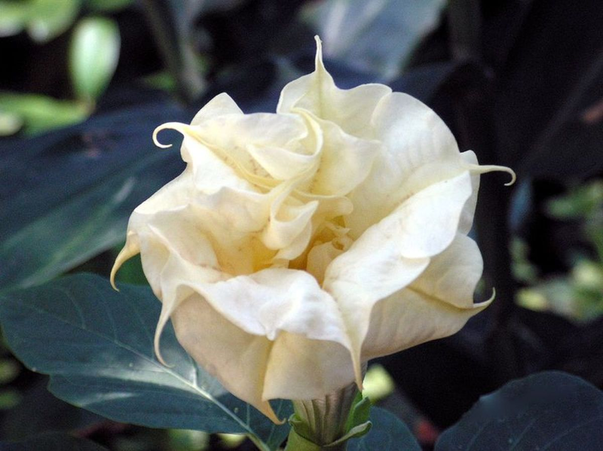 White flowered datura are often called moonflowers.