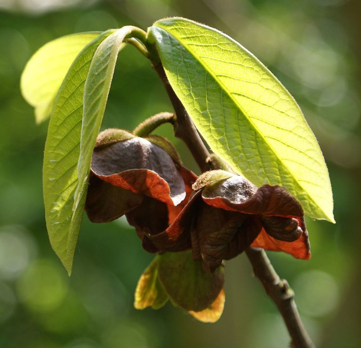 The flowers are brown and smell like spoiled meat to attract carrion eating flies.