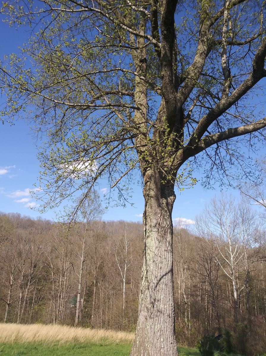This article will break down the process of growing a tulip poplar tree from cuttings.