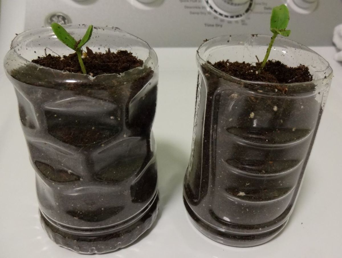 Add a small amount of water and more soil as needed to stand up the sprout.