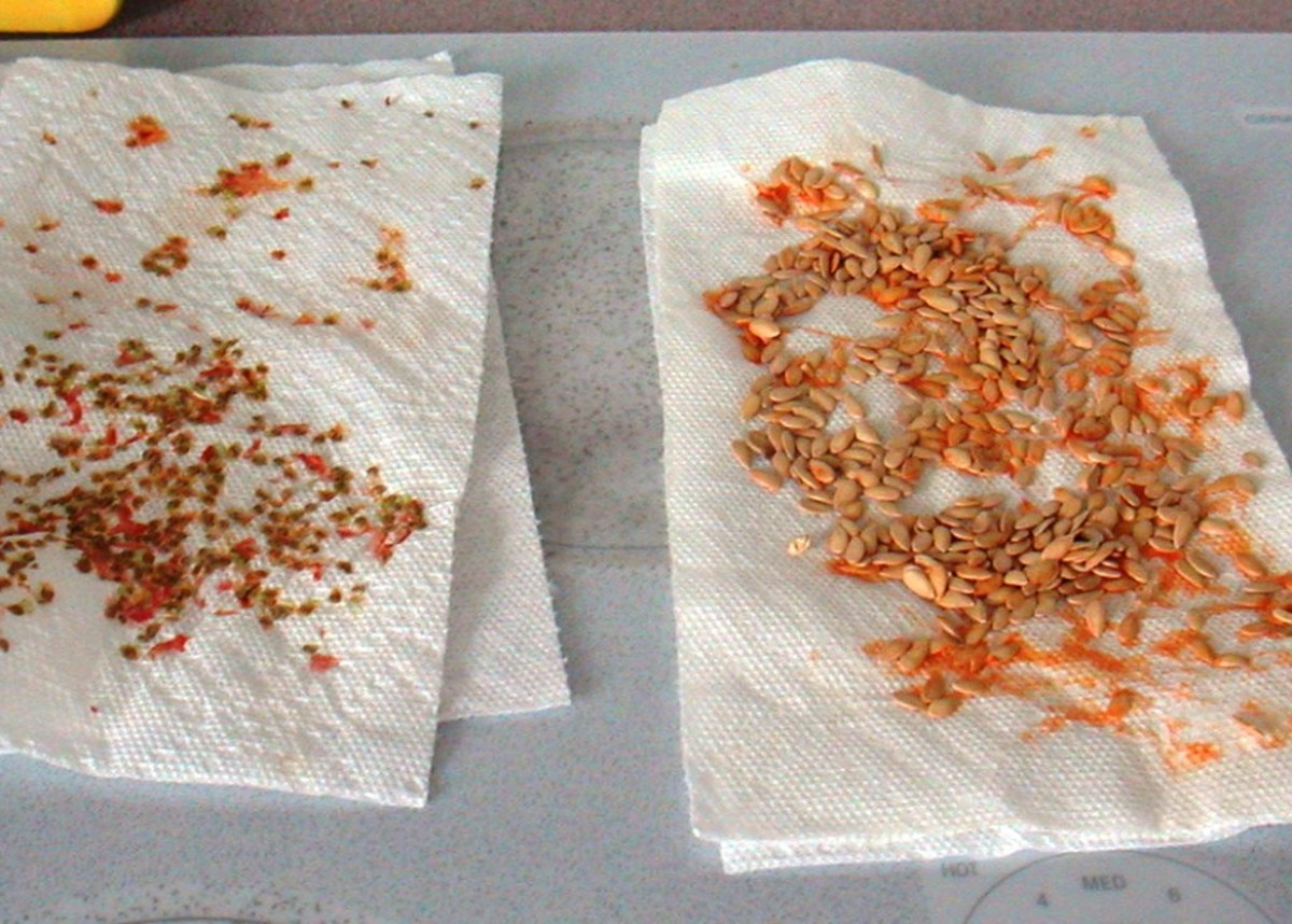 Remove the pulp and membrane from around tomato and cantaloupe seeds before drying on paper towels.