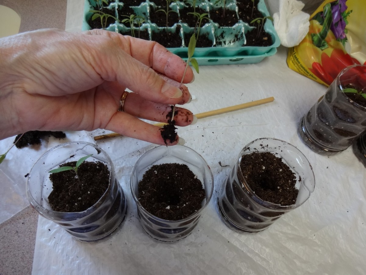 Gently place each seedling into a larger container adding more soil as needed.