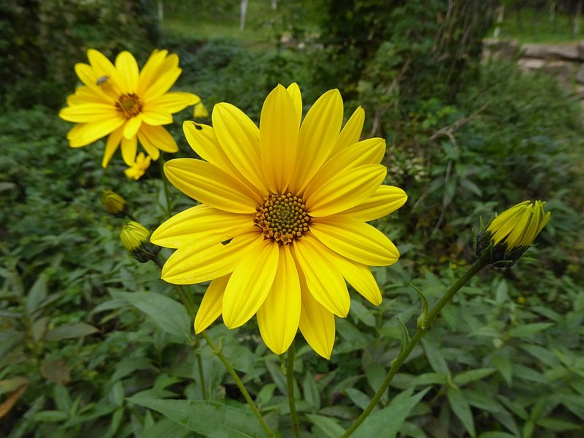 The flowers are bright yellow.  They resemble sunflowers but are much smaller.