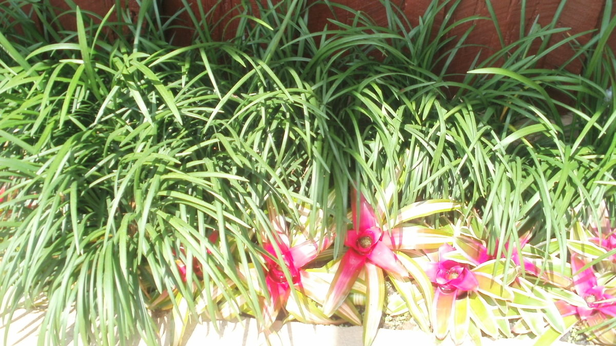 Bromeliads and liriope surrounding the pool enclosure