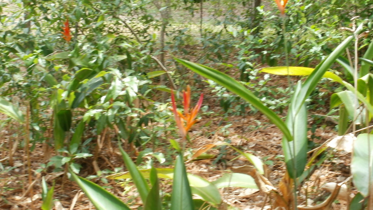 Bird of Paradise on the Cole property
