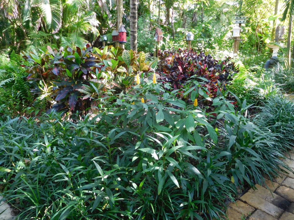 Shrimp plants and Crotons