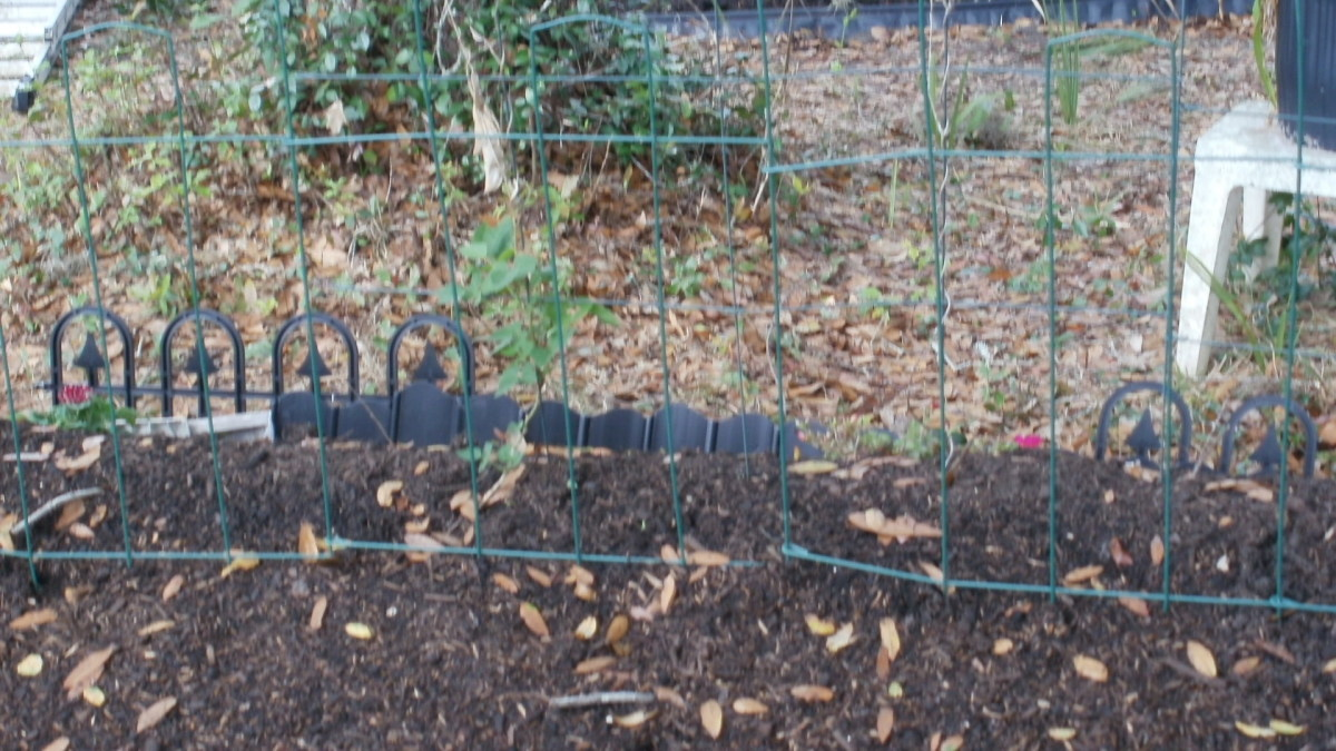 Hugelkultur bed is finally ready to plant. Black limas beginning to climb trellis.