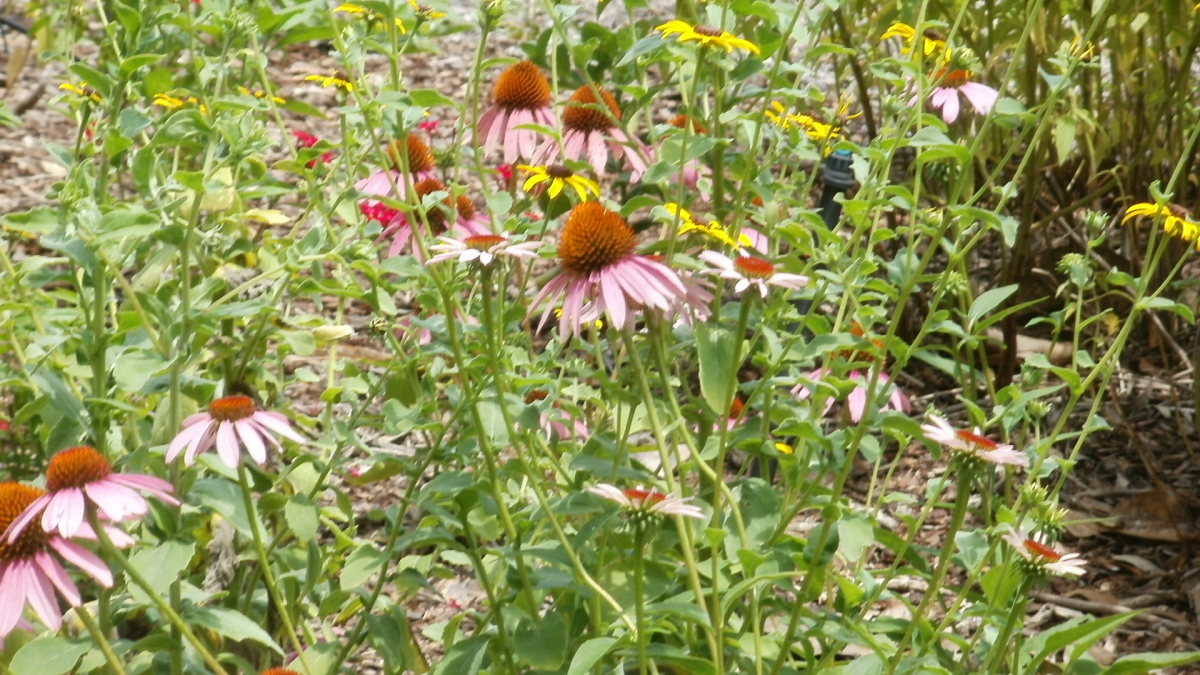 Coneflowers on the Borriecci property