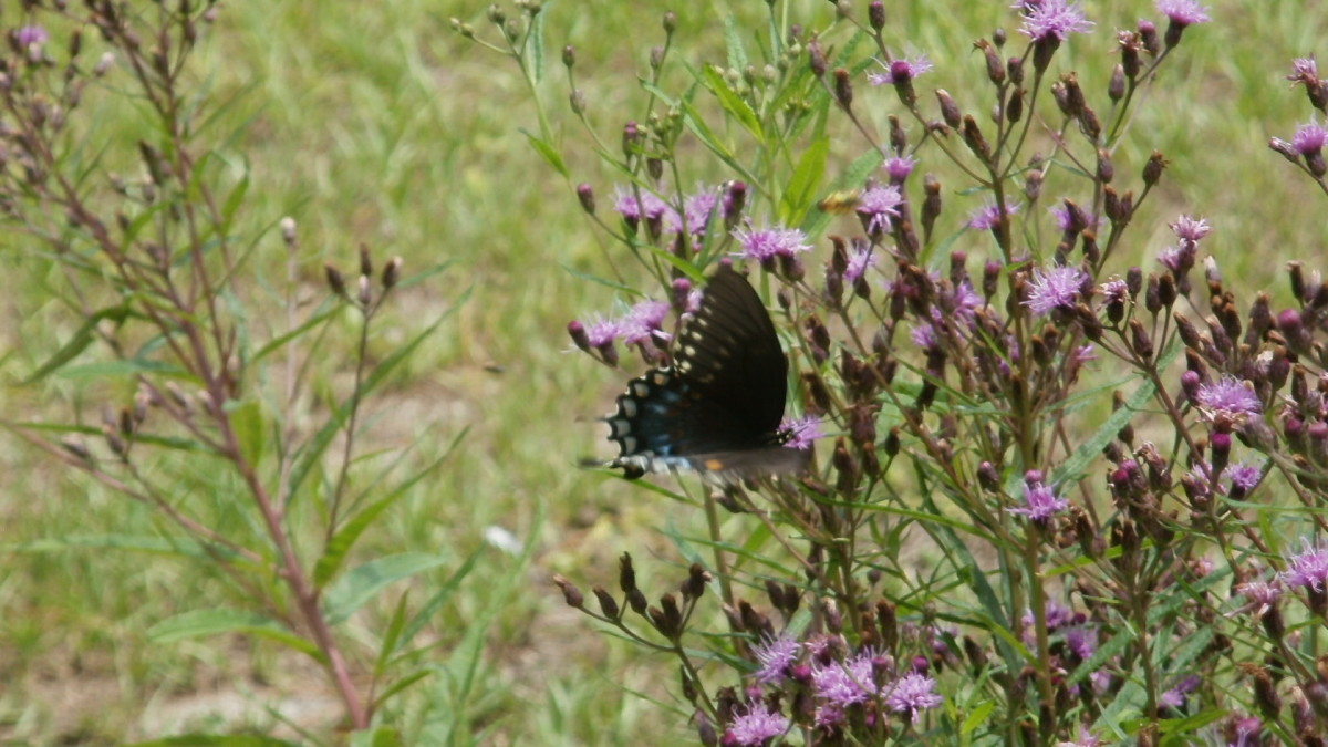 Butterflies are attracted to the Borriecci property