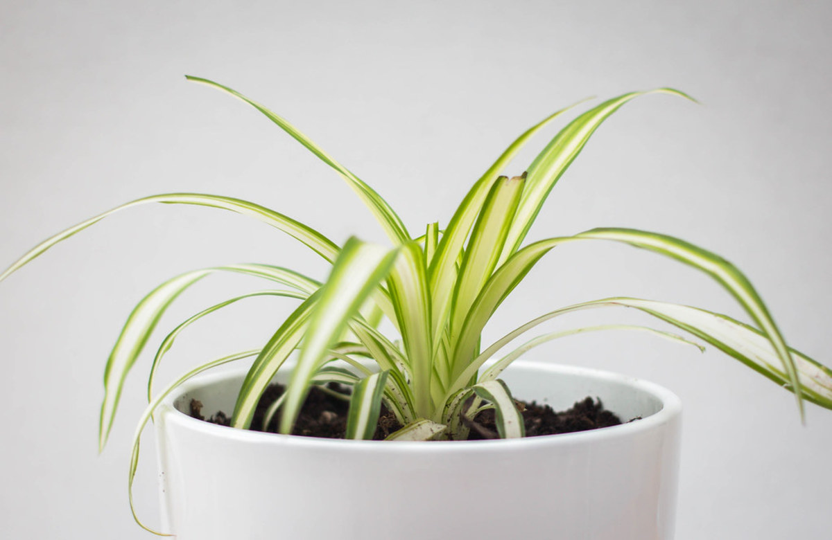 A young spider plant in a well-lit spot.