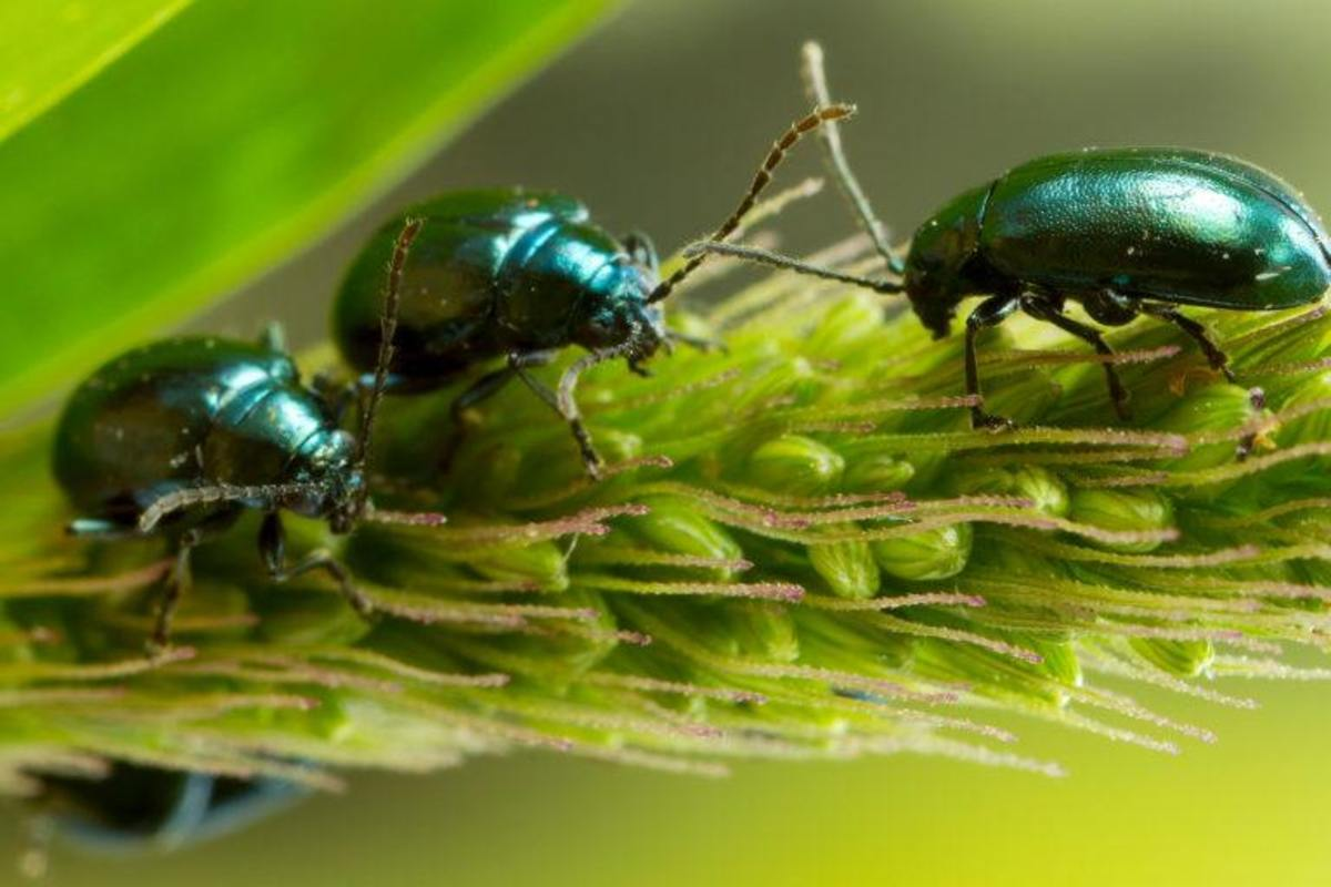The Flea Beetle: An Enemy to Many of Your Vegetables