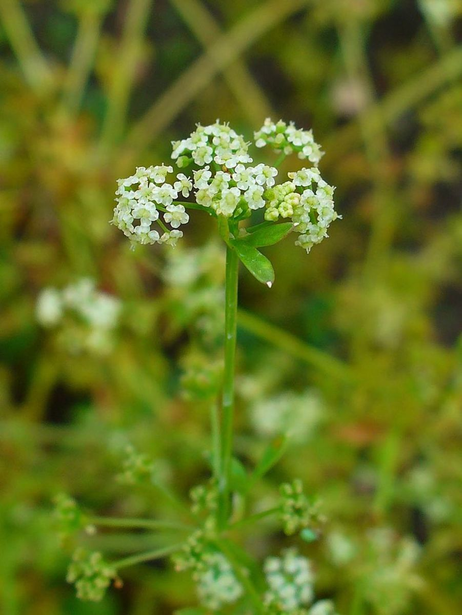 The flowers look like Queen Anne's Lace.