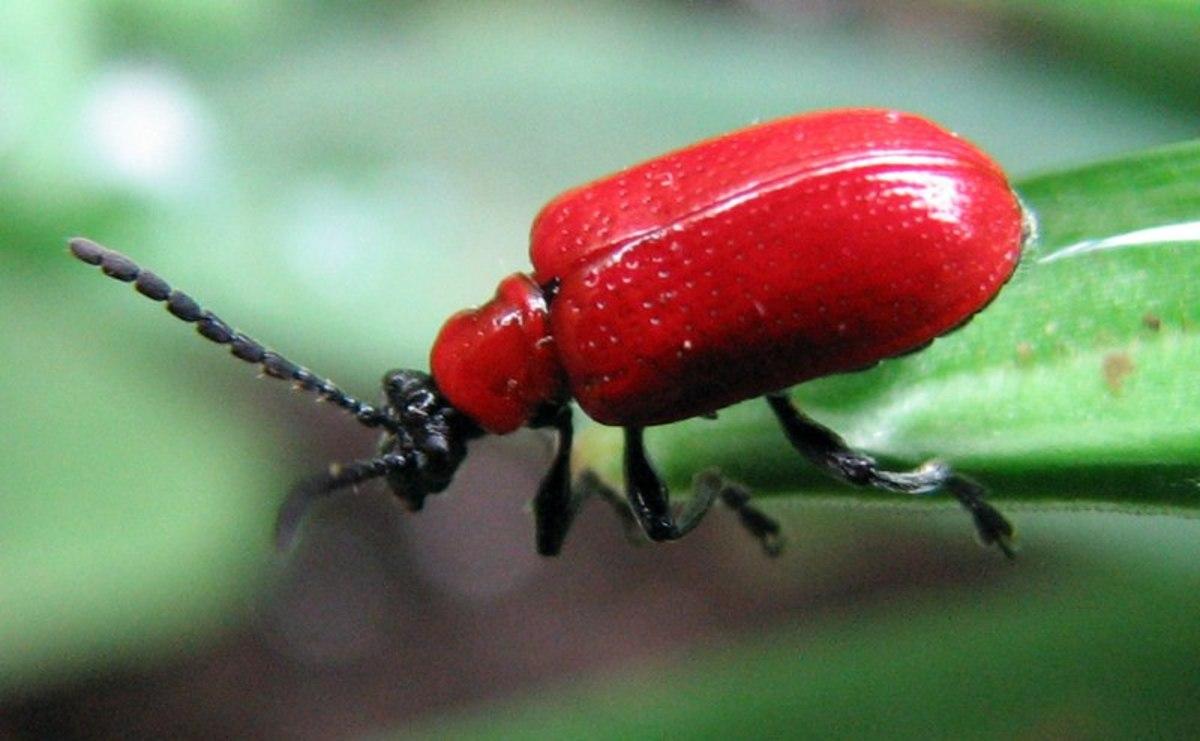 How to Get Rid of Lily Leaf Beetles (Scarlet Lily Beetle)