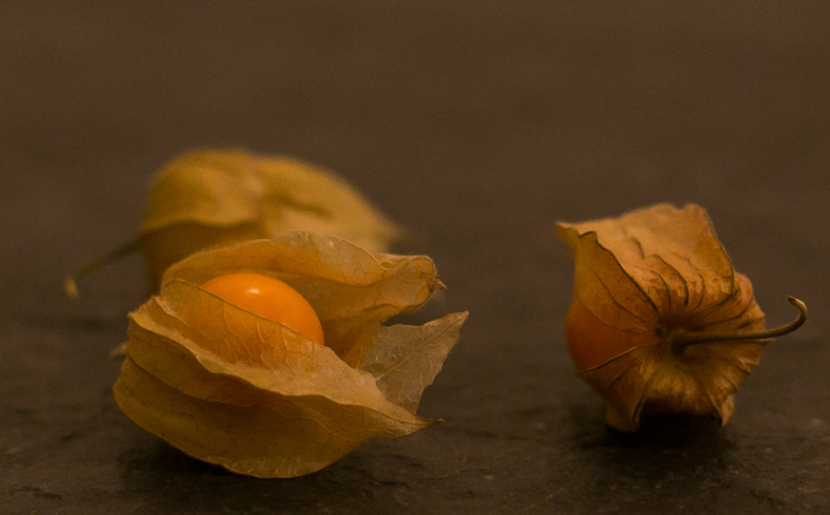 Ground cherries are ripe when the husk turns brown and papery, the fruit is yellow and it has fallen to the ground.