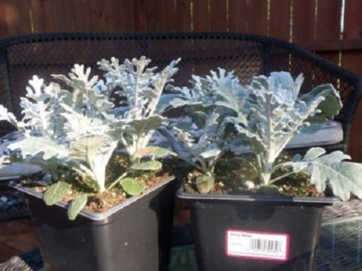 Dusty Miller is the fill for this container garden.