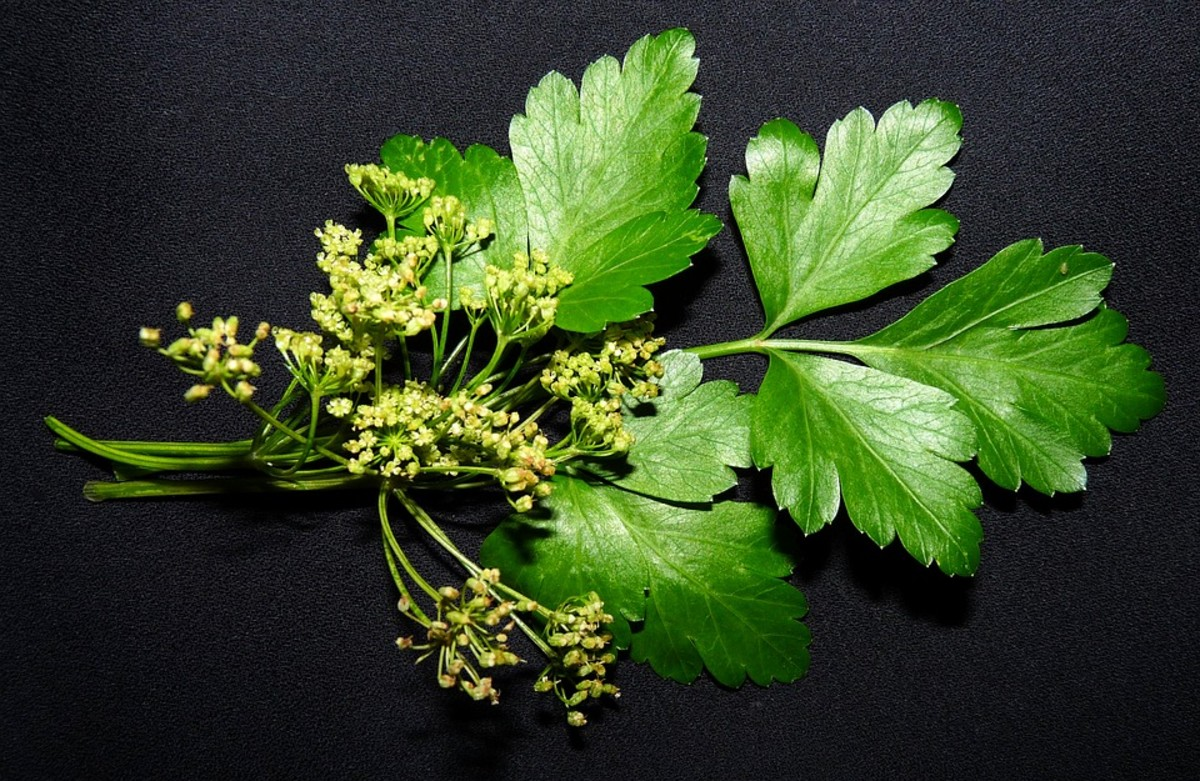 Second-year parsley with flowers.
