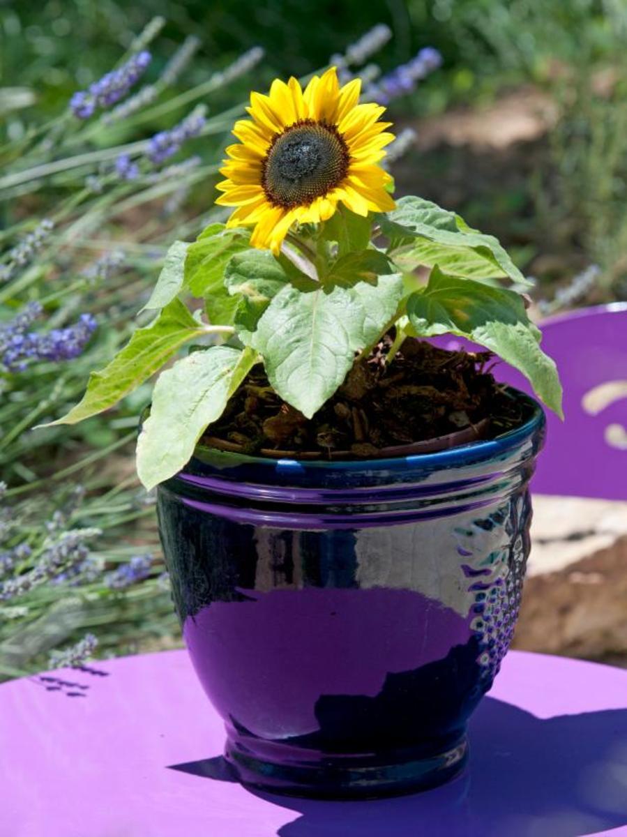 Dwarf Sunflower (Suntastic Yellow)