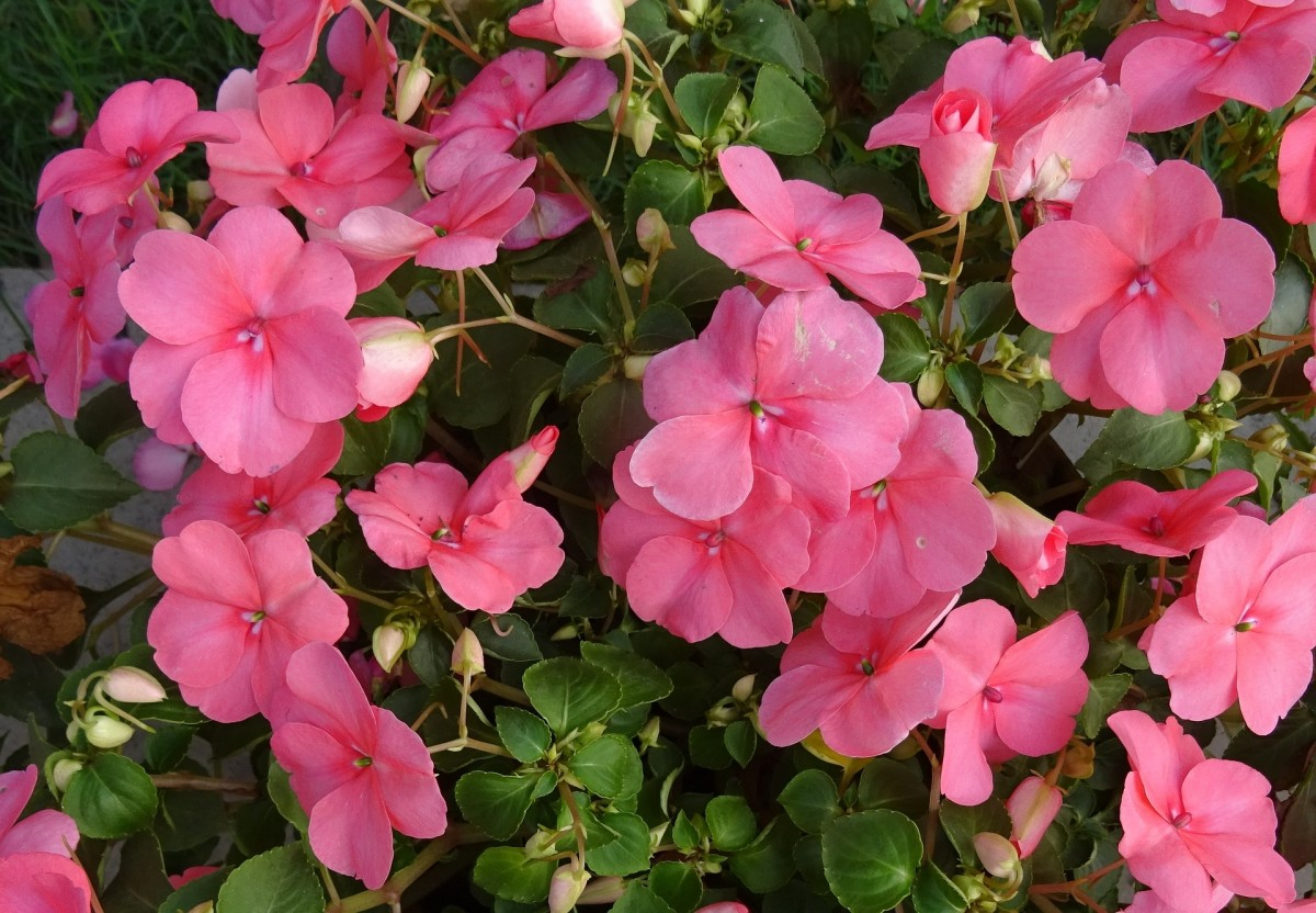 6 Best Ornamental Flowering Container Plants for Full Sun